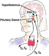 thyroid-pituitary.jpg